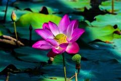 Lotus στο έλος Στοκ εικόνα με δικαίωμα ελεύθερης χρήσης