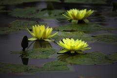 Lotus στο νερό Στοκ εικόνα με δικαίωμα ελεύθερης χρήσης