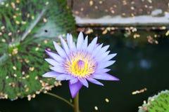Lotus στο νερό Στοκ Εικόνες