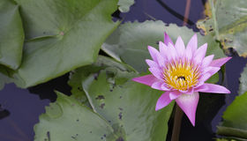 Lotus στο νερό Στοκ φωτογραφία με δικαίωμα ελεύθερης χρήσης