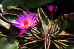Lotus στο νερό Στοκ εικόνες με δικαίωμα ελεύθερης χρήσης