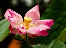 Lotus στο πόδι του Βούδα στοκ φωτογραφίες