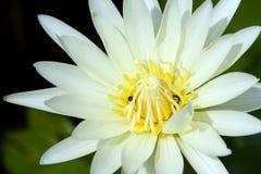 Lotus στο φυσικό υπόβαθρο από την Ταϊλάνδη Στοκ Εικόνες