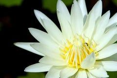 Lotus στο φυσικό υπόβαθρο από την Ταϊλάνδη Στοκ Φωτογραφία