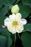 Lotus στο φυσικό υπόβαθρο από την Ταϊλάνδη Στοκ φωτογραφίες με δικαίωμα ελεύθερης χρήσης