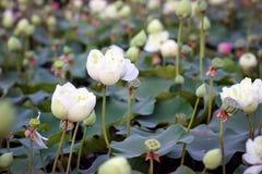 Lotus στο φυσικό υπόβαθρο από την Ταϊλάνδη Στοκ Φωτογραφίες