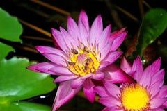 Lotus στο φυσικό υπόβαθρο από την Ταϊλάνδη Στοκ εικόνα με δικαίωμα ελεύθερης χρήσης