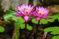 Lotus στο φυσικό υπόβαθρο από την Ταϊλάνδη Στοκ φωτογραφία με δικαίωμα ελεύθερης χρήσης