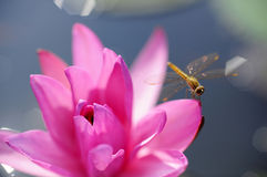 Lotus Ταϊλάνδη Στοκ εικόνα με δικαίωμα ελεύθερης χρήσης