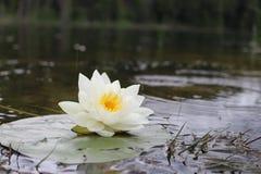 Lotus της Lilly λιμνών Στοκ Φωτογραφία