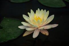 Lotus υποβάθρου Στοκ Εικόνα