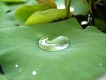 lotus 01 staw Fotografia Royalty Free