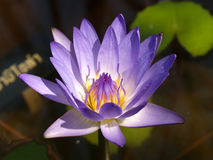 Free Lotus 05 Royalty Free Stock Images - 4398689