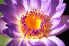 Lotus 1 Royalty Free Stock Images