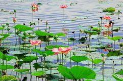 Lotus. Waterlily and lotus in a lake Royalty Free Stock Photography