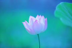 Lotus. Beautiful lotus in the summer Stock Photos