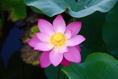 Lotus Stock Photo