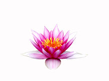 Lotus. Pink isolated on white background Stock Photo
