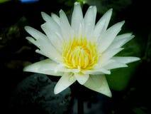 Lotus Стоковое Изображение