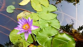 Lotus Obraz Royalty Free