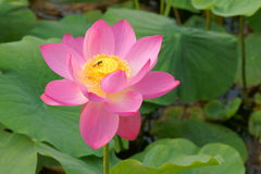 Lotus. A lotus in the sunshine Royalty Free Stock Photography