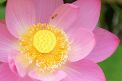 Lotus. Macro photo of a lotus.A Syrphidae fly over it Stock Photography