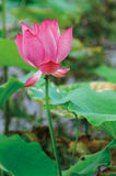 Lotus. In full bloom when the summer season Royalty Free Stock Images