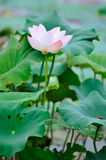 Lotus. In full bloom when the summer season Stock Image