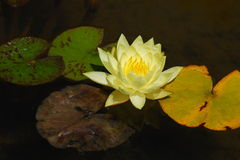 Lotus. Flower with Colored Leaves on Water Royalty Free Stock Images