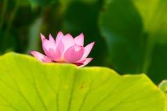 Lotus. A pink lotus bloom behind a leaf Stock Photo