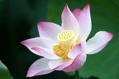 Lotus. In the West Lake in hangzhou Royalty Free Stock Image