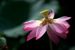 Lotus. In the West Lake in hangzhou Royalty Free Stock Photography