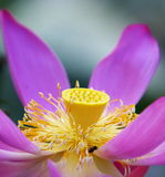Lotus. The lotus flower is beautiful Stock Images