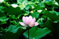 Lotus Royalty-vrije Stock Afbeelding