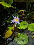 Lotus02 imagem de stock