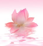 Lotus. Beautiful pink Lotus close-up stock photos