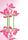 Lotus. Beautiful pink Lotus in water stock photos