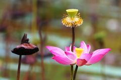 Lotus. A lotus flower in the local pond Stock Photos