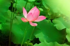 Lotus. Beautiful Chinese Pink Lotus Flower Stock Photo