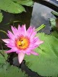 Lotus Royalty-vrije Stock Afbeeldingen