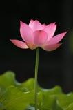 Lotus. Beautiful Chinese Pink Lotus Flower Royalty Free Stock Images