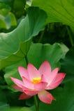 Lotus. Beautiful Chinese Pink Lotus Flower Stock Image
