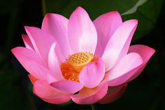 Lotus. A blooming lotus flower of pink color in dark background Stock Image