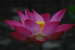 LOTUS Photo libre de droits