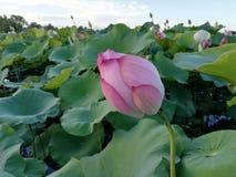 Lotus fotografia royalty free