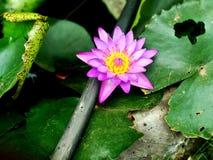 Lotus fotos de archivo libres de regalías