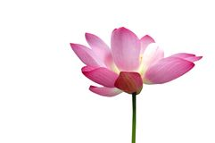 Lotus. On a white background stock images