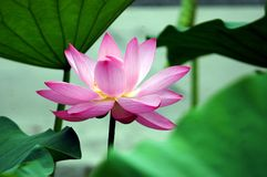 Lotus. The lotus pond bloom in summer stock photos