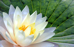 Lotus. White lotus at green leaf background royalty free stock photography