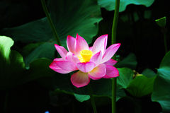 Lotus. Flower lotus nature pink petal water plant aquatic blossom background Stock Photography